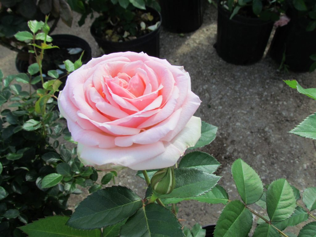 It's time to fertilize your roses!