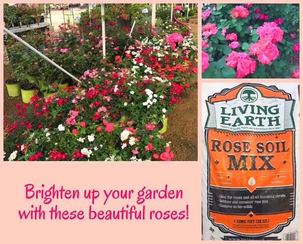 Roses at Madison Gardens Nursery, Spring, TX.