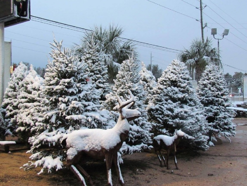Christmas Trees covered with real snow at Madison Gardens Nursery!