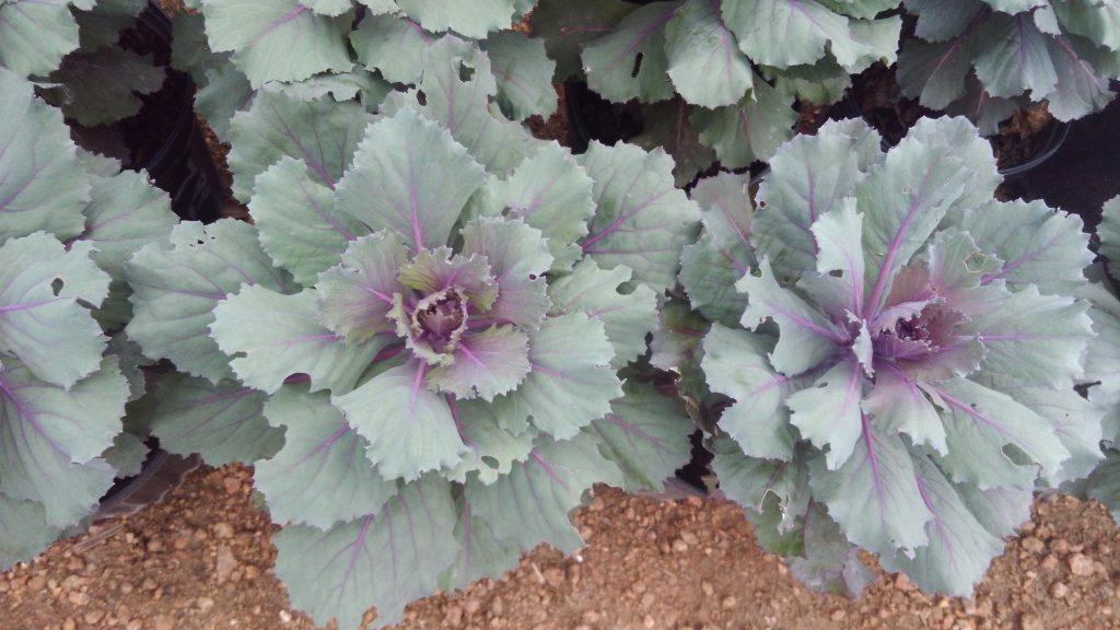 Decorative lettuce!