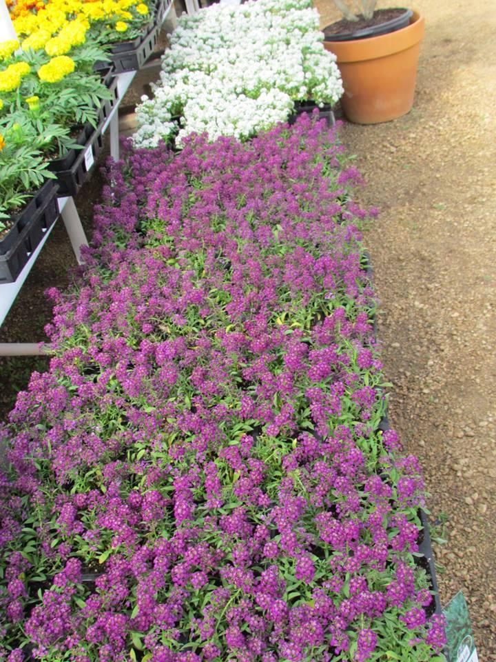 Stunning Alyssum. brightens up flower beds and hanging baskets!