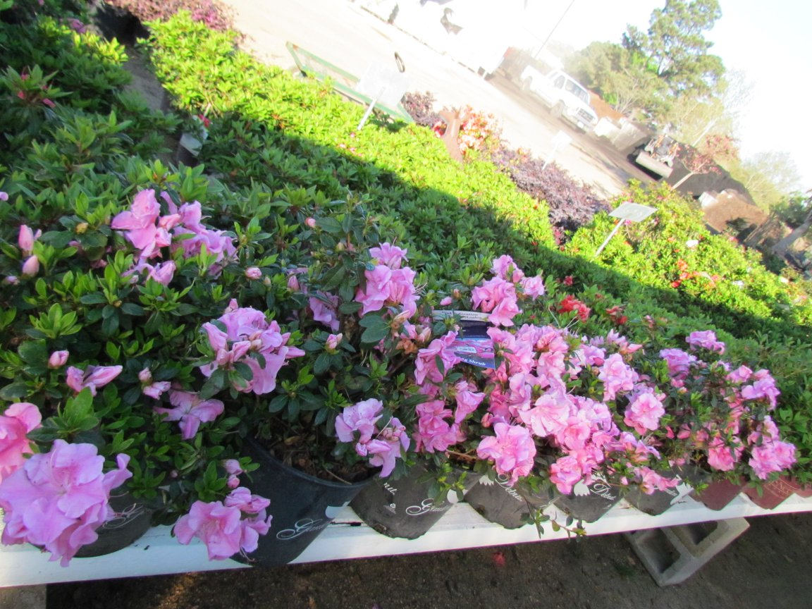 The beautiful azaleas are beginning to bloom. They often bloom three times a year - spring, fall and winter!