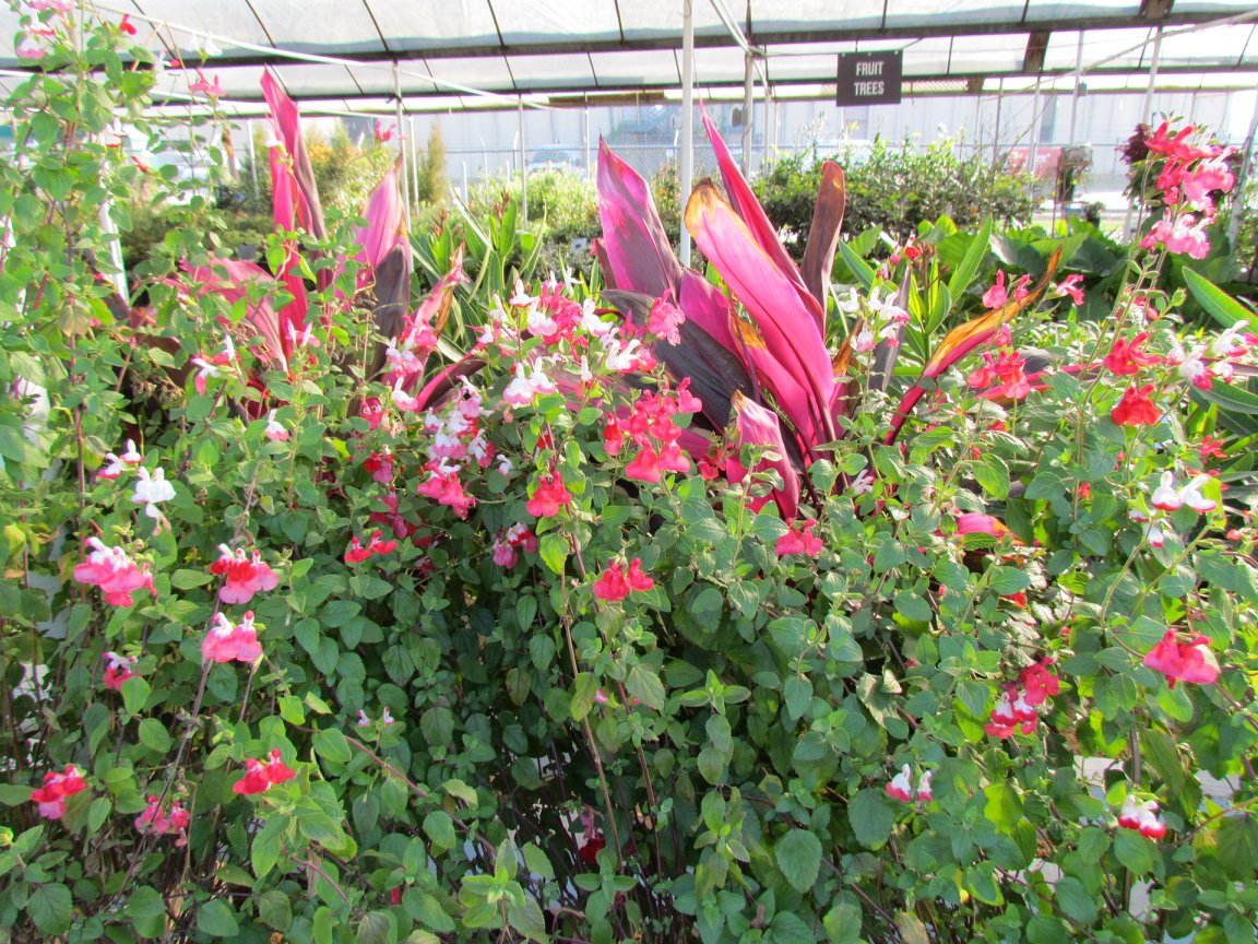 We have lots of Red Sisters and other plants to add color to your yard.