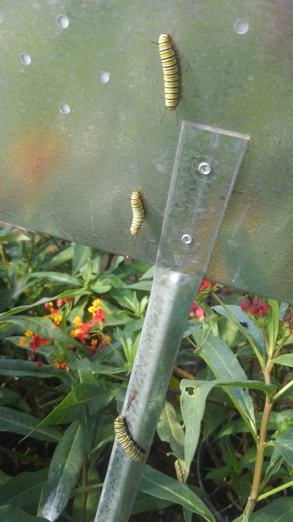 Looks like someone got lost. Don't worry, we put the caterpillars back on the Milkweed plants!