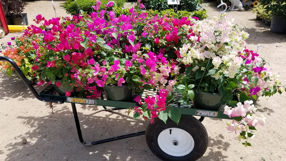 Just arrived, new bougainvillea baskets!