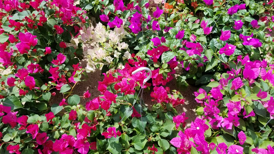 Bougainvillea hanging baskets in fucshia, white, purple and more!