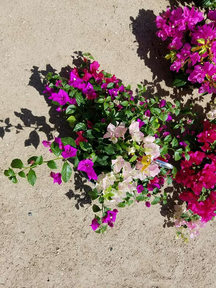 Multi-colored bougainvillea hanging basket!
