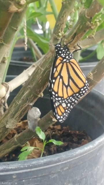 Monarch Butterfly having a snack of Milkweed!