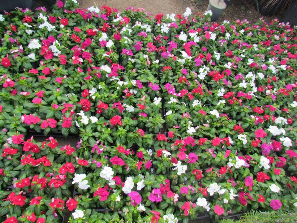 Colorful Cora Vincas! These flowers are perfect for the hot summer!