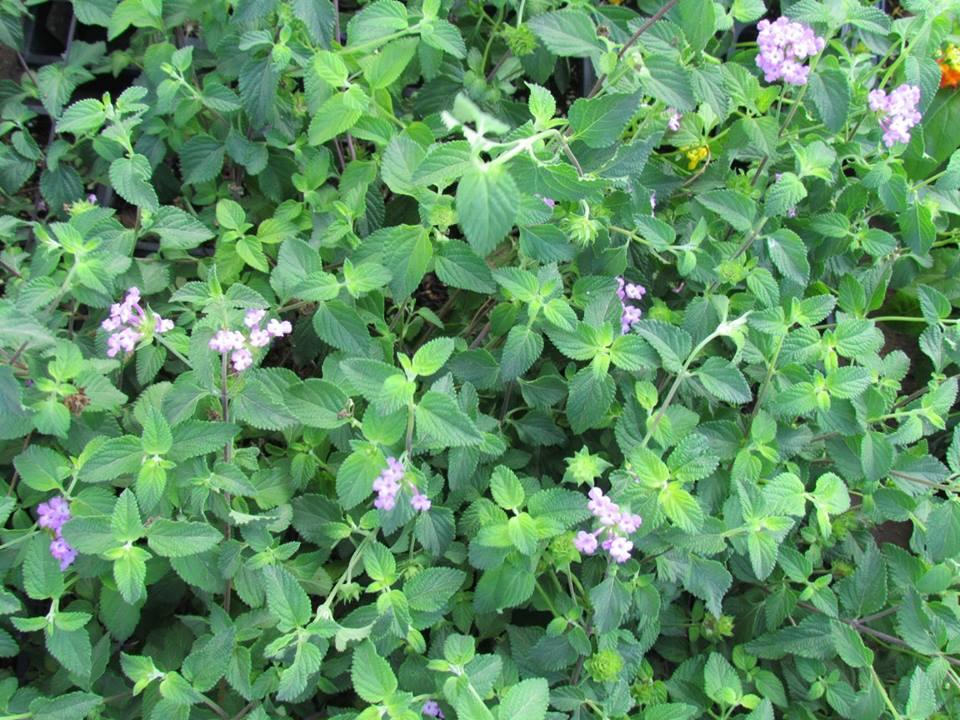 purple-lantana
