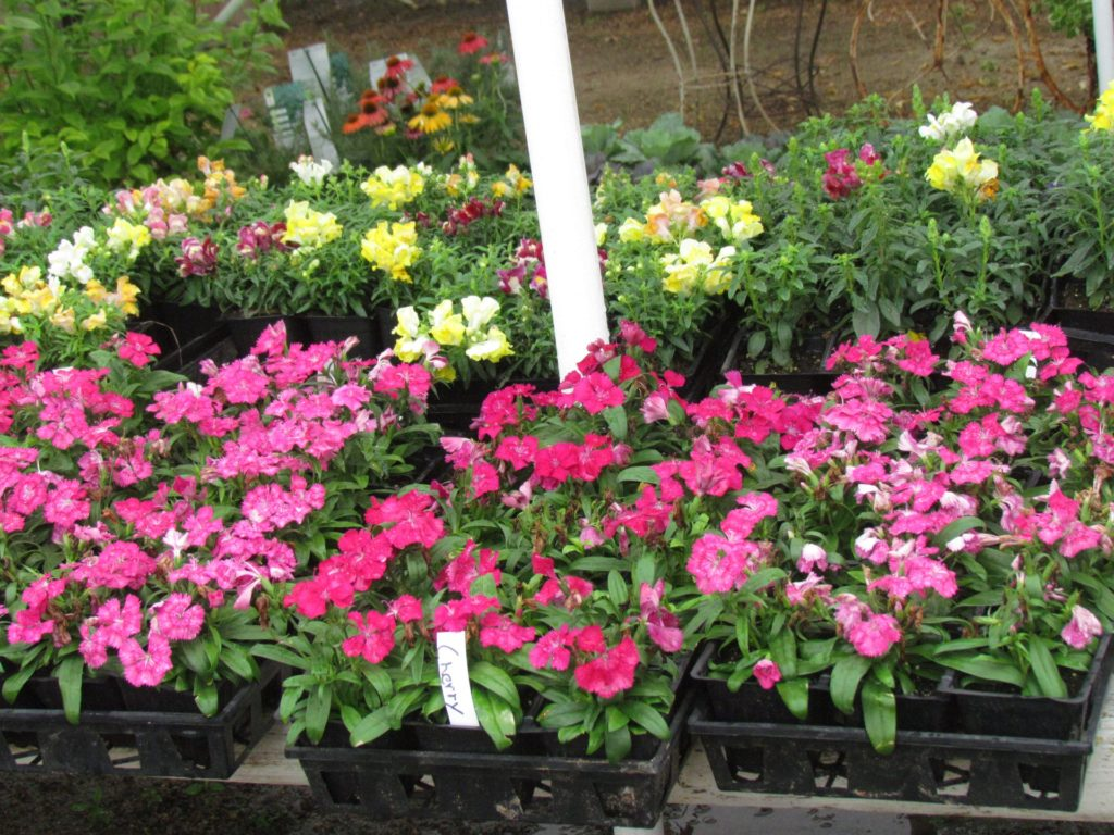 Colorful flats at Madison Gardens Nursery!