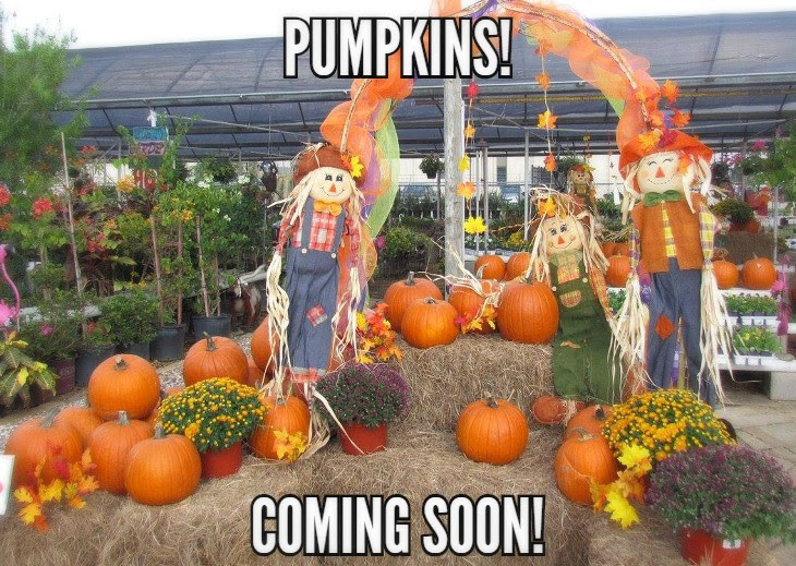 Carving and pie pumpkins coming soon to Madison Gardens Nursery!