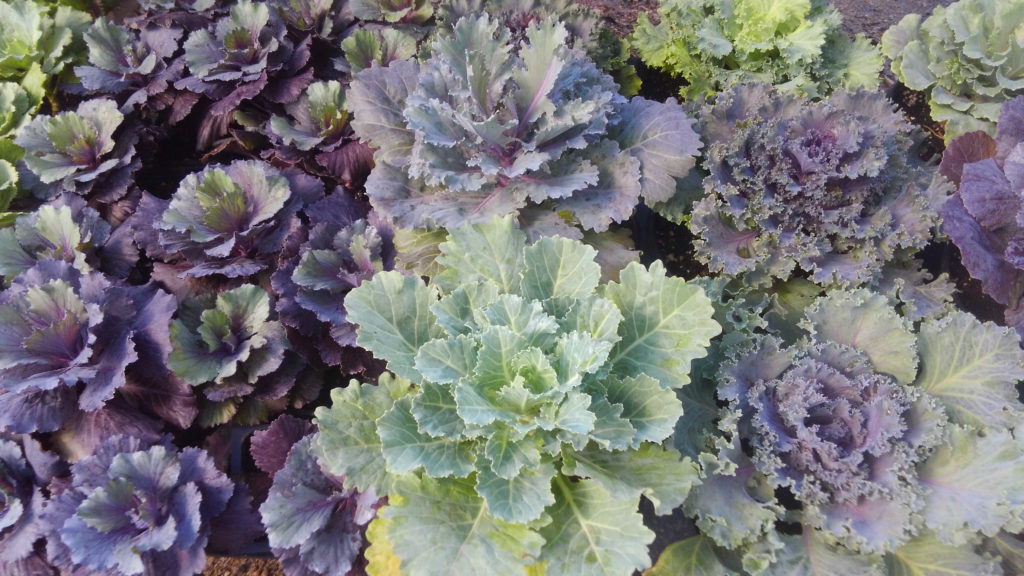 Decorative lettuce and cabbage. Gives beautiful color during the winter.