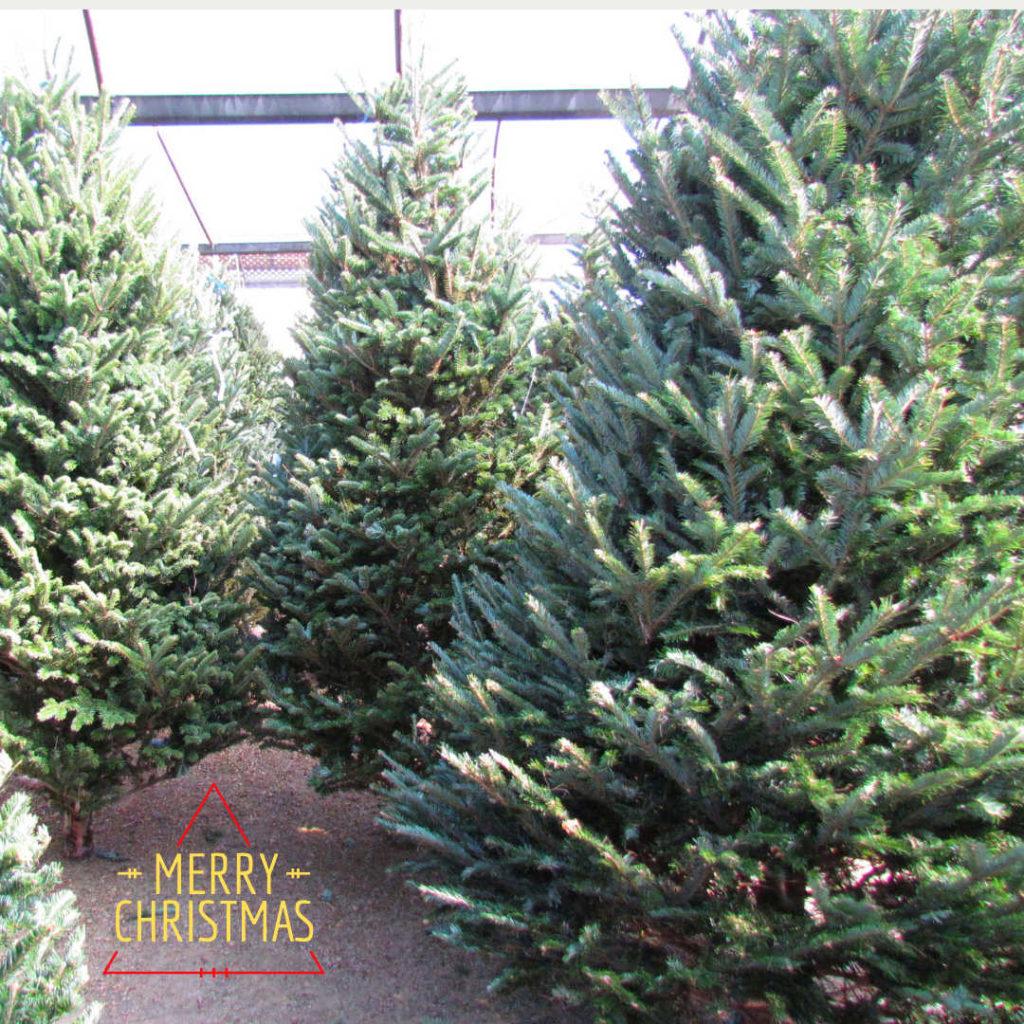 ChristmasTreesMadisonGardensNursery