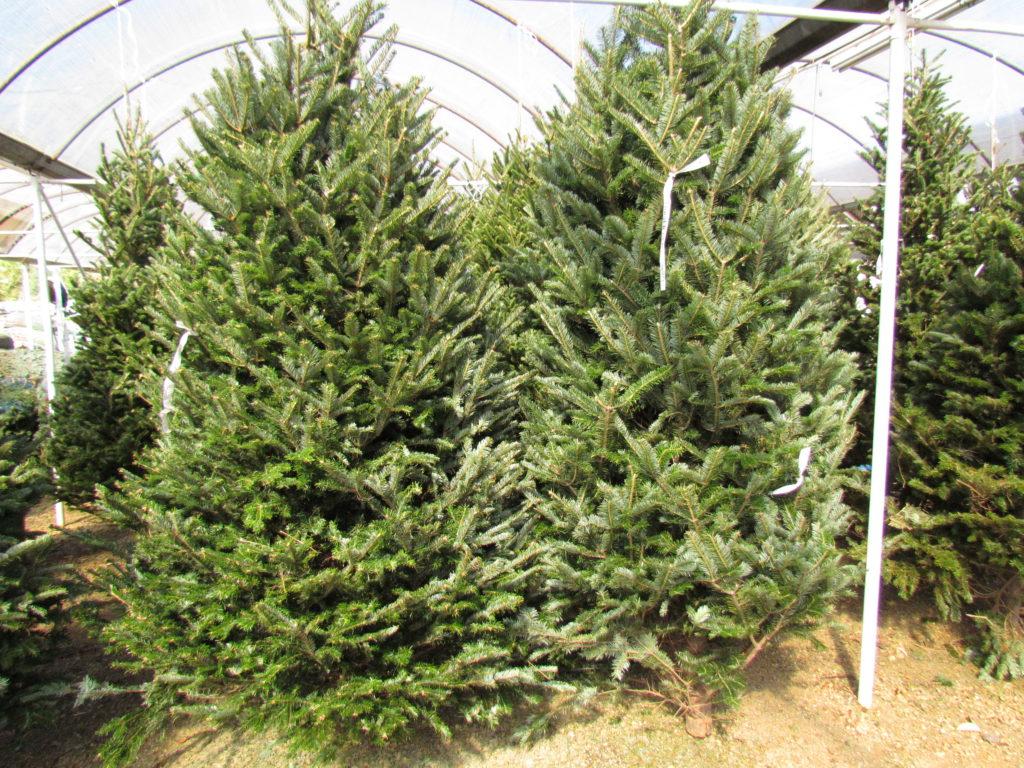 Beautiful, green fraser fir Christmas Trees!