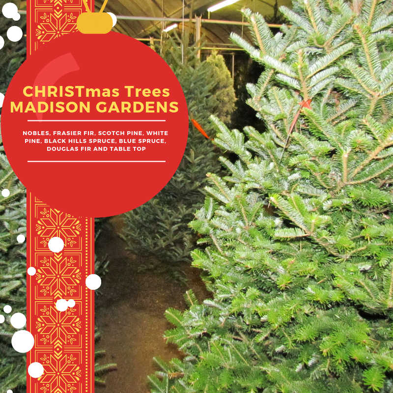 Christmas Trees at Madison Gardens Nursery this week