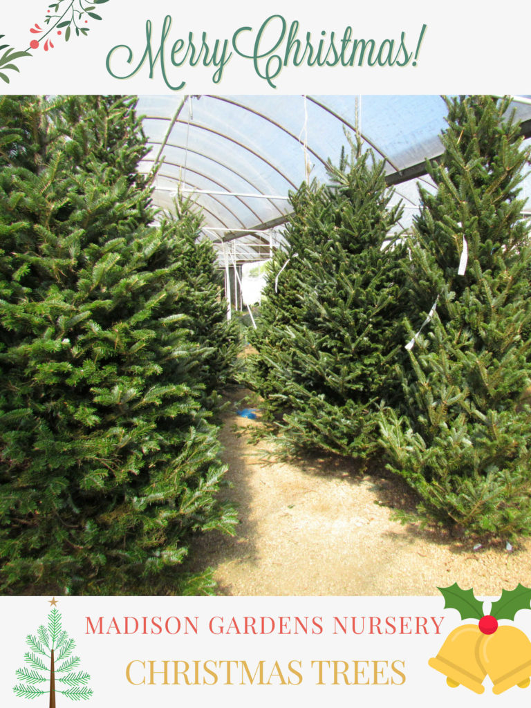 It's the Most Wonderful Time of the Year! Christmas Trees have arrived at Madison Gardens Nursery!
