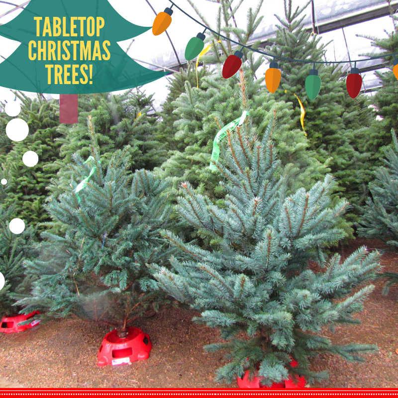 Tabletop Christmas Trees at Madison Gardens Nursery!