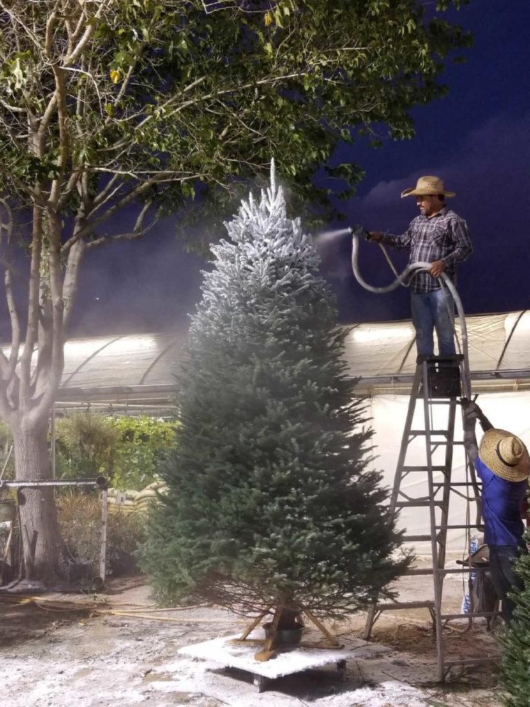 Christmas tree being flocked at Madison Gardens Nursery!