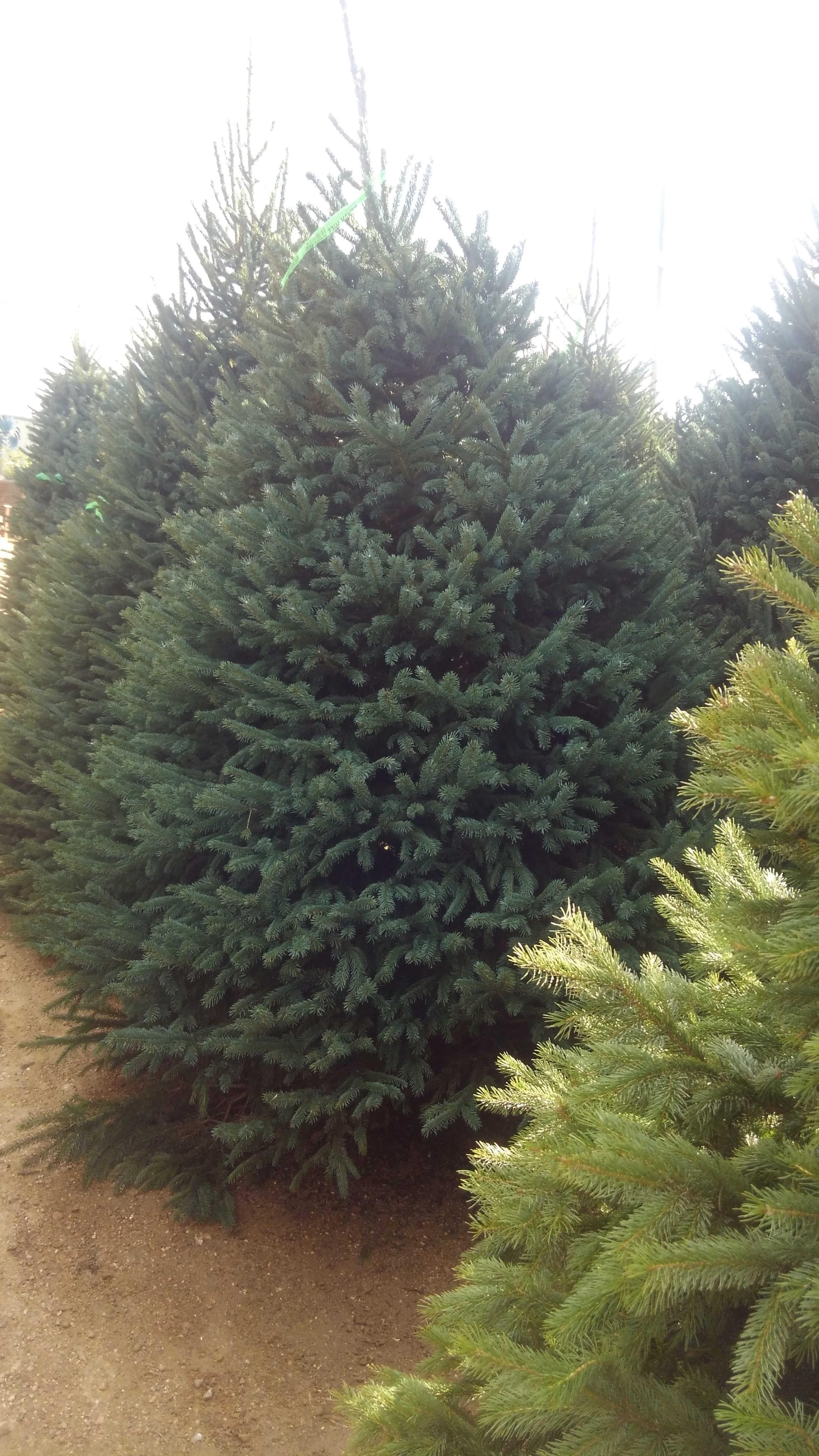 Christmas Archives - Madison Gardens Nursery, Spring, TX ...