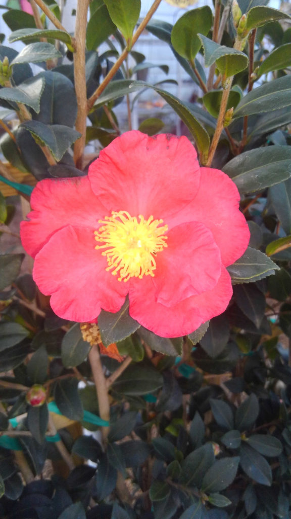 Yuletide Camellia in full bloom! This will add beautiful color to your yard!