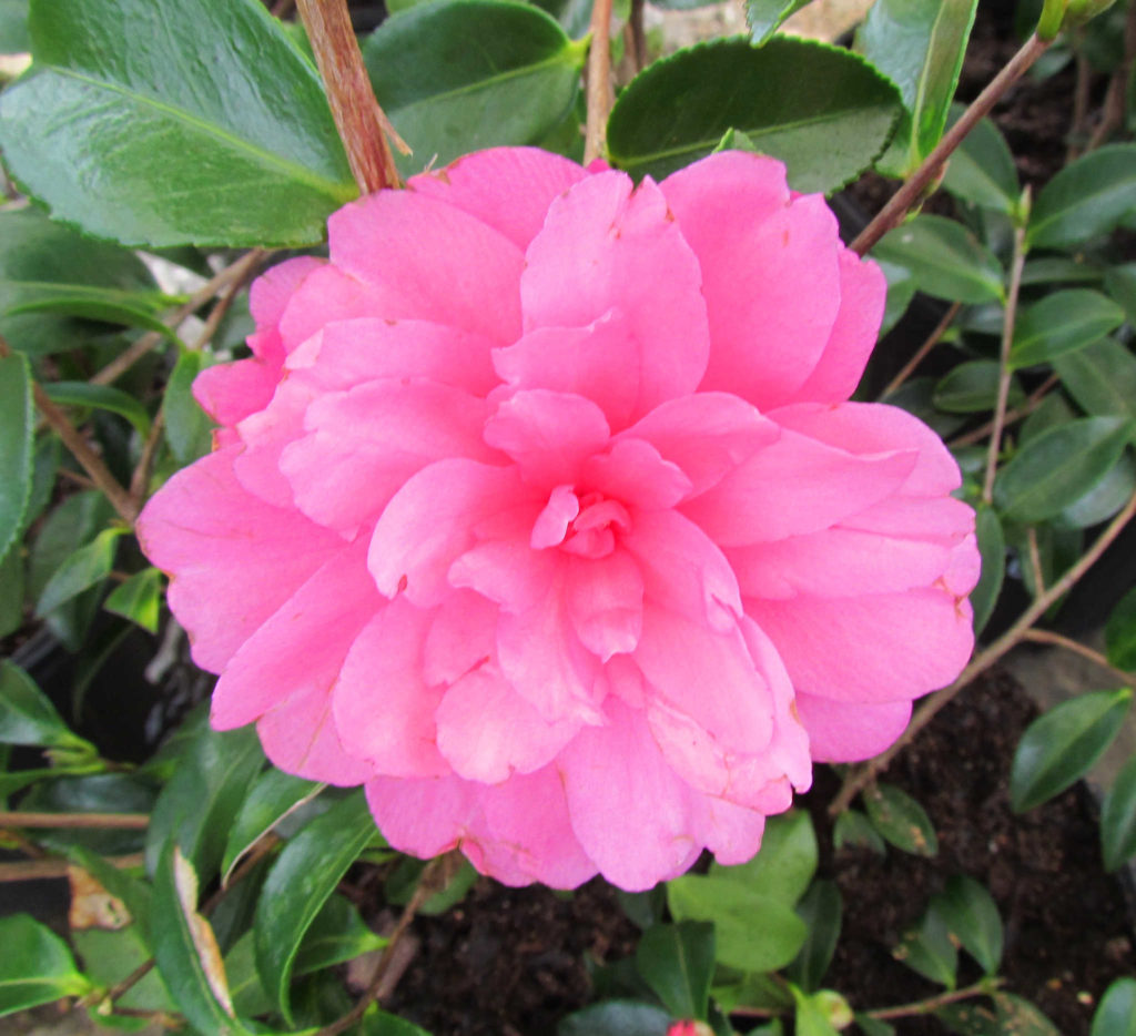 Beautiful camellia blooming in the winter!