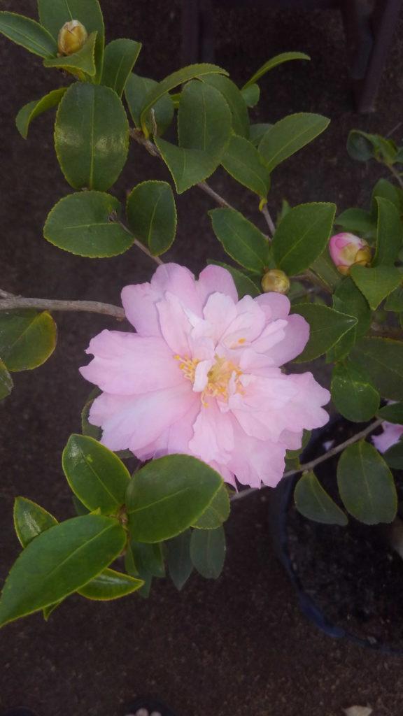 Magnificent Shi Shi Camellia bloom!