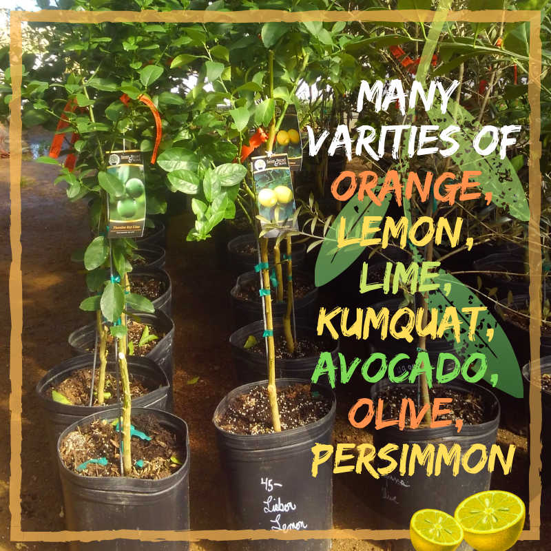 Madison Gardens Nursery has all kinds of citrus fruit trees for you! We also have Avocado and Olive trees!