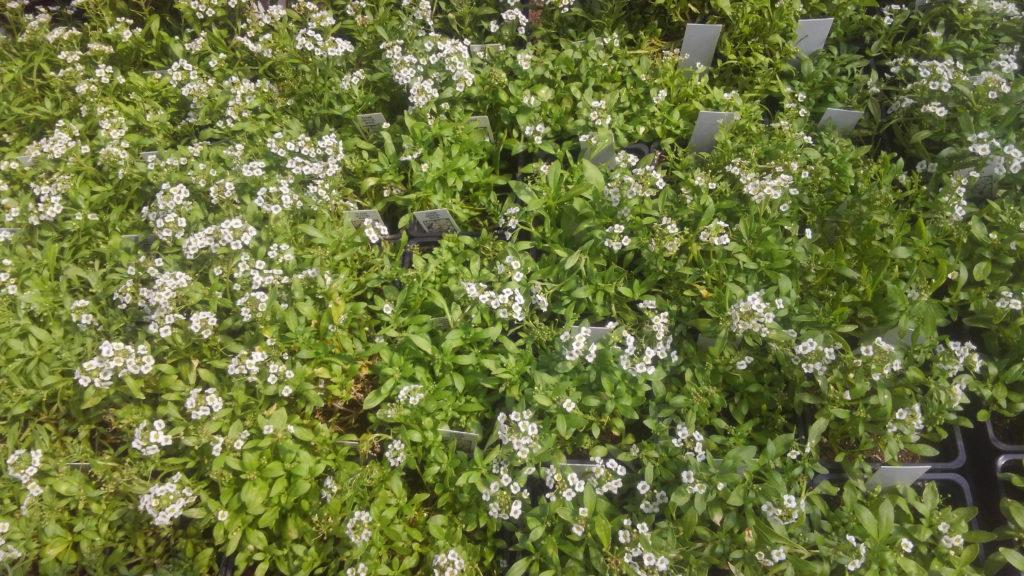 Cheerful alyssum ground cover!