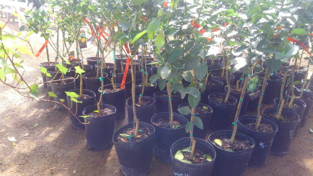New citrus trees have arrived for you!