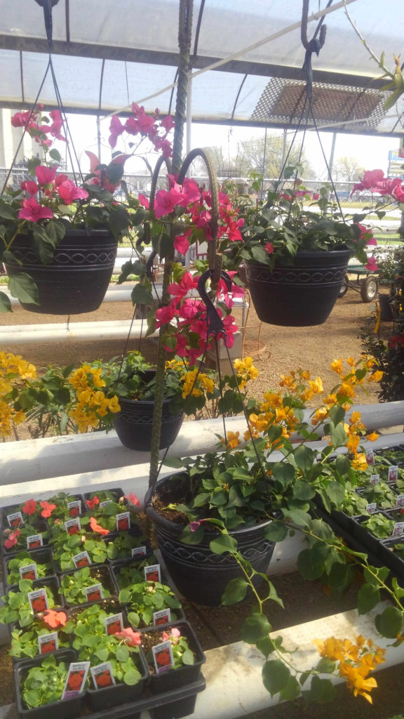 Gorgeous bougainvillea hanging baskets and flats of impatiens!