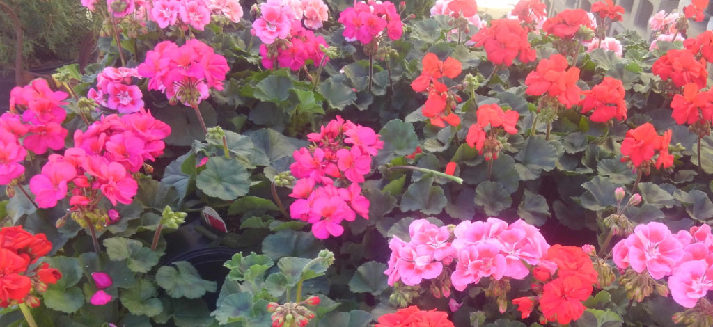 Easy care, low maintenance geraniums! They attract hummingbirds and love full sun!