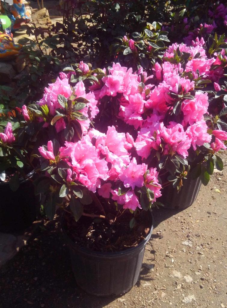 Blooming azaleas!