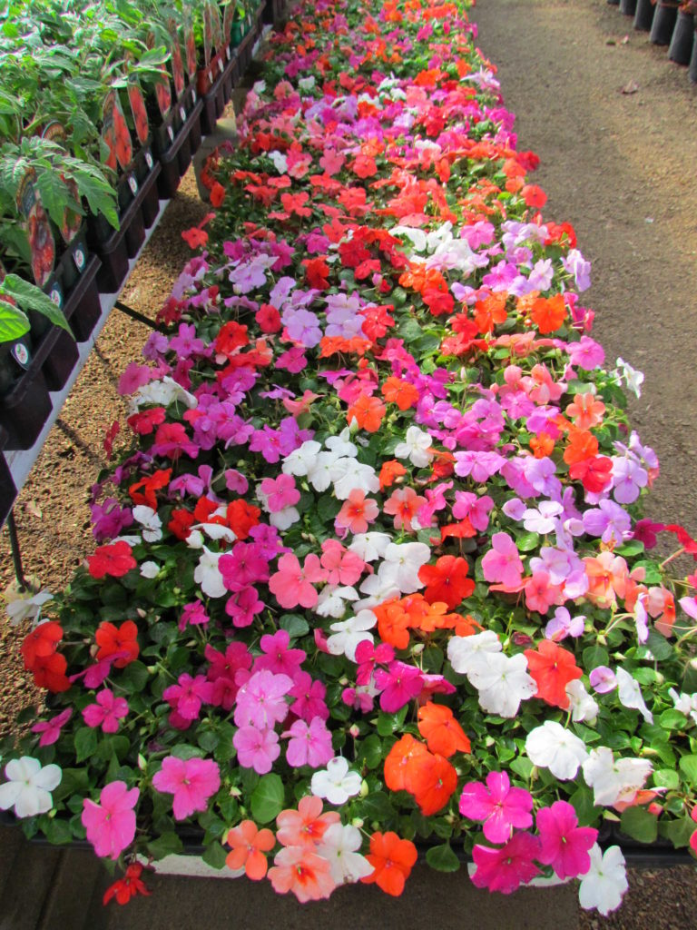 Bright, cheerful impatiens for your yards and offices!
