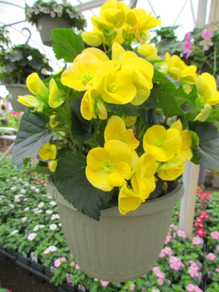 Stunning begonia baskets to last you all year!