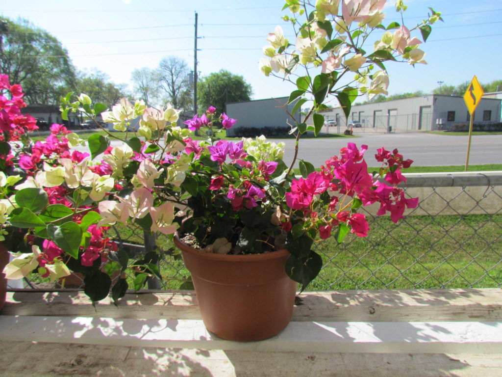 Fabulous bougainvilleas just in time for spring!