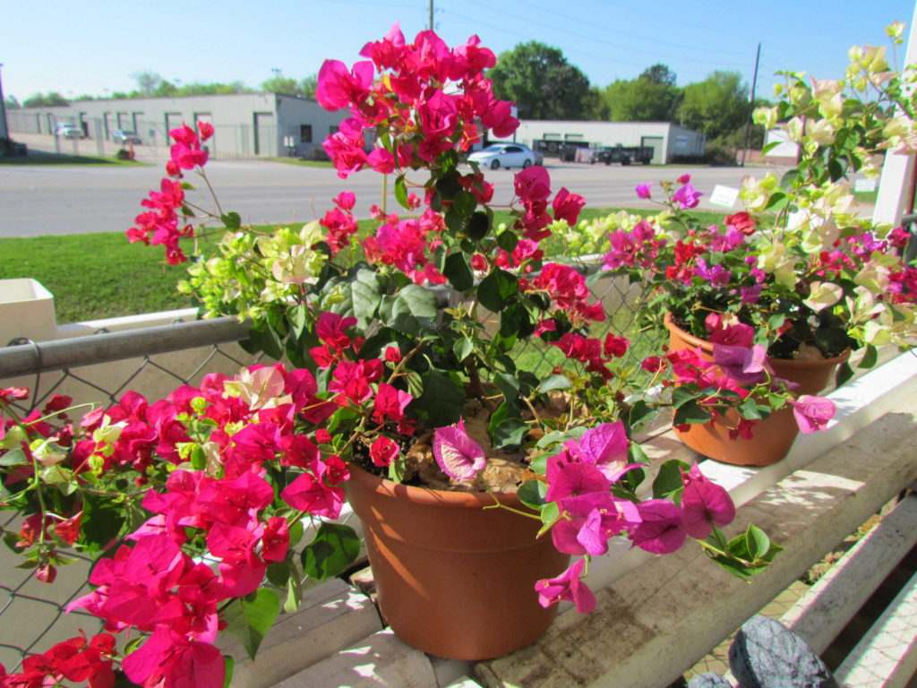 Spring has officially sprung with these gorgeous bougainvilleas!
