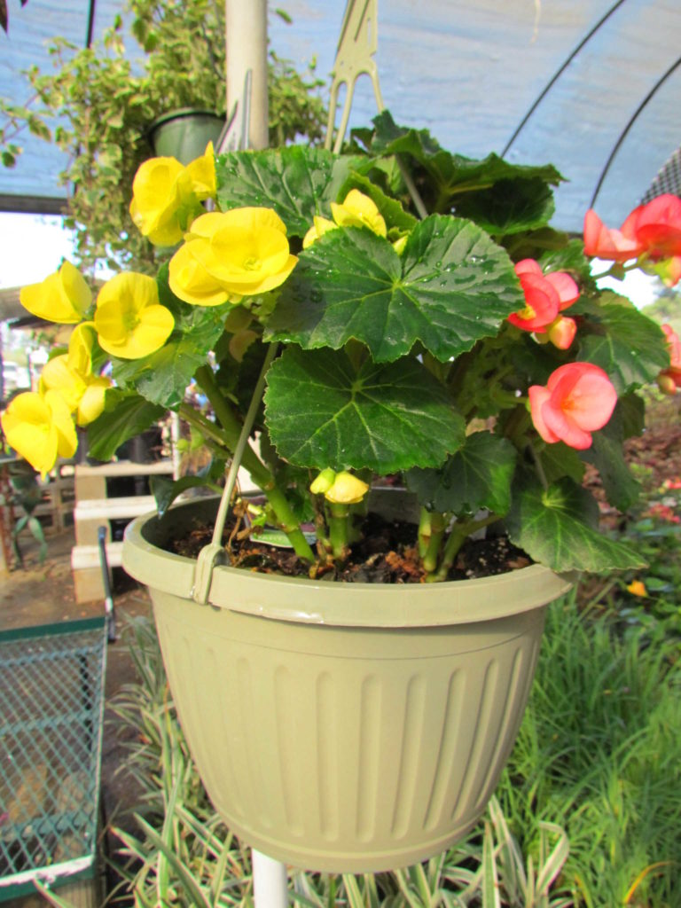 Wonderful mixed color begonia hanging basket!