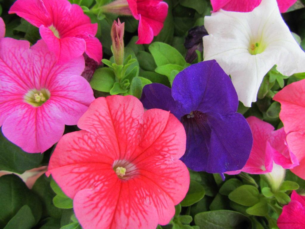 Flats of petunias!