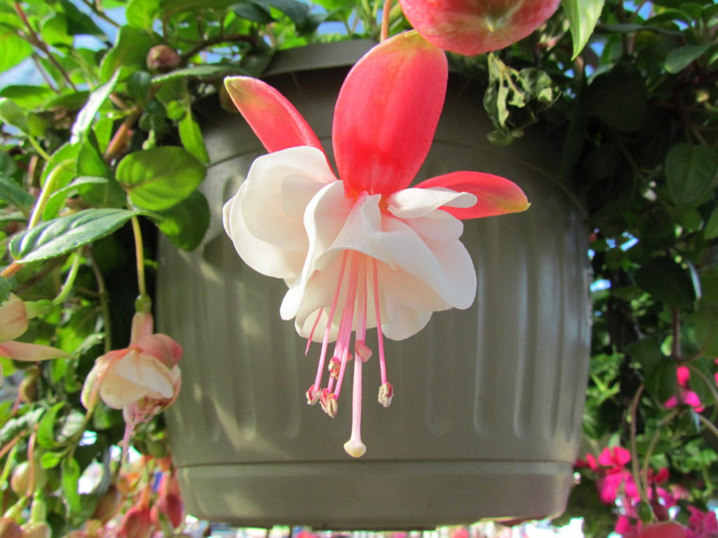 Fucshia hanging basket! Beautiful bloom!