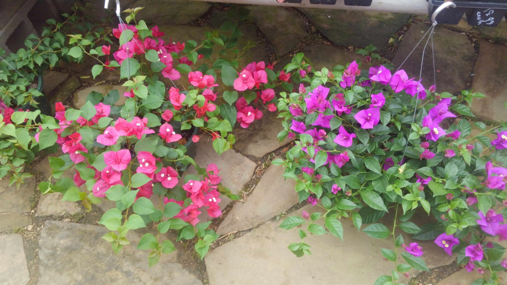 Single color bougainvillea baskets!