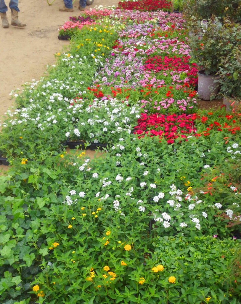 Many flats of flowers arrived today including dianthus, vincas, marigolds and more!
