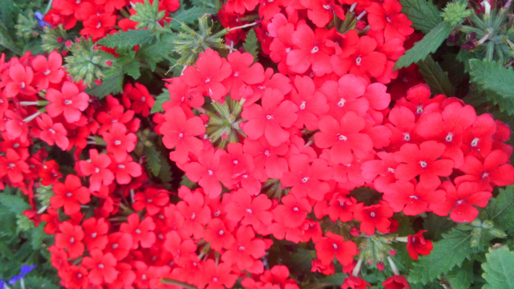 Red Lantana. Lantana is loved by butterflies and humming birds!