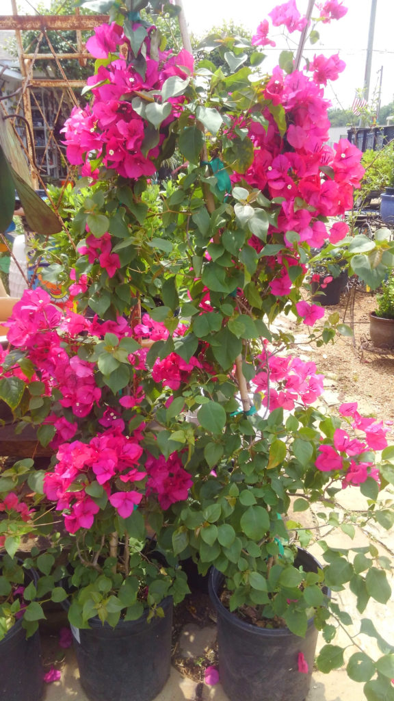 Staked bougainvillea.
