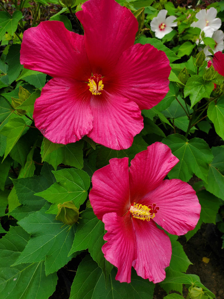 Hibiscus with beautiful flowers!