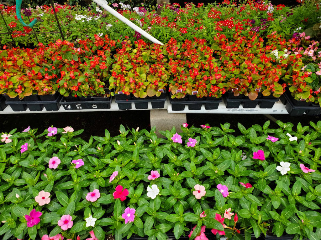 New begonia and vinca flowers are here!