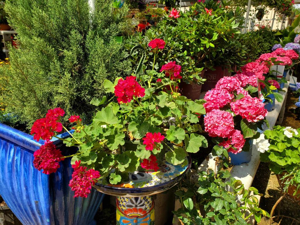 Beautiful geranium and hydrangeas!