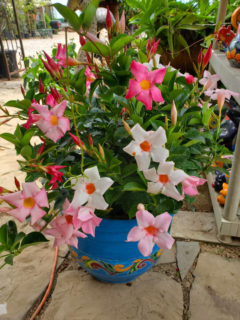 Mandevilla shrub with pink, red and white flowers!