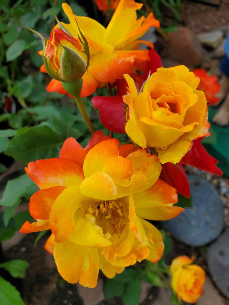 Stunning orange to yellow roses!