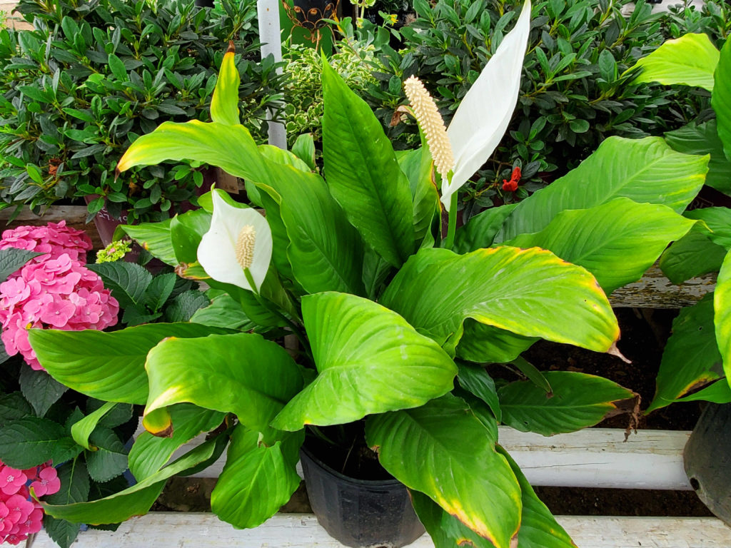 Peace lily!